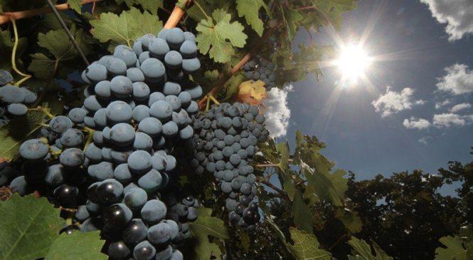 26 августа — День виноградарства и виноделия в Республике Крым